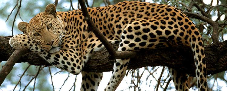 leopard-simvol