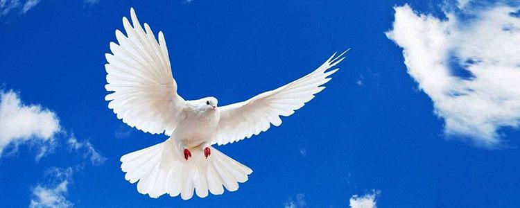 картинки белый голубь